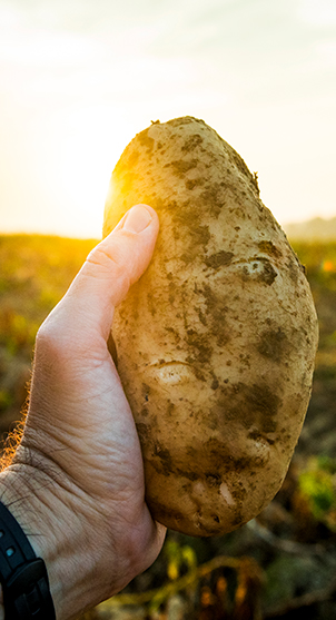 Farmer holding potato, with the sun rising in the background over the farmer's field